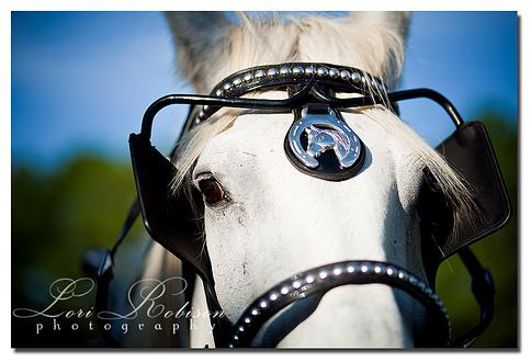 Beautiful white Percheron, Ben, offering a souful look into his eyes.