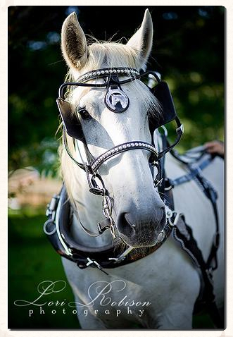 Big Ben, white percheron looking elegant and serene ready for a carriage ride.